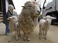 母親の両脇に寄り添う双子の子羊。春の牧場のアイドル