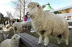羊との交流が人気を集める六甲山牧場。皮膚炎のため全頭を隔離することになり、今年のゴールデンウイークは羊が見られなくなるかも