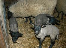 母親のそばで遊ぶ子羊たち