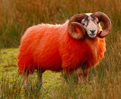きれいな色の羊ですね