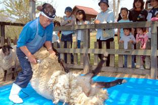 よっこら、と刈られる羊。足が暴れてそう。