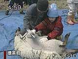 羊の毛刈りを体験
