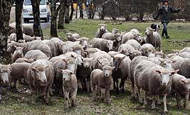群れをなして広い草原に繰り出す羊
