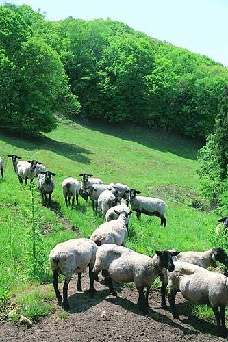顔と四肢が黒いのがサフォーク種の特徴。夏の間はこの牧場で過ごす