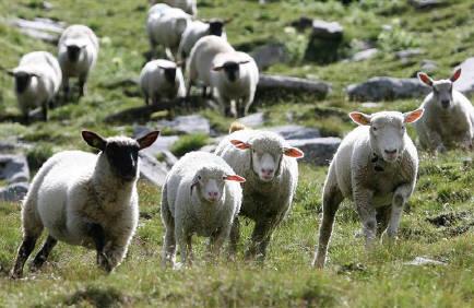 誤ったテレビ報道のため、スペインの農場組合事務所に羊飼いになりたい人からの電話が殺到している