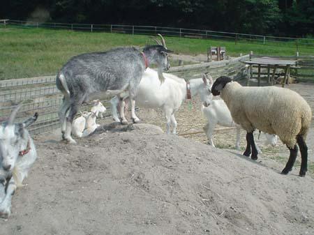 小山の領有権を巡ってヒツジと山羊が対決。一部サボってますが。