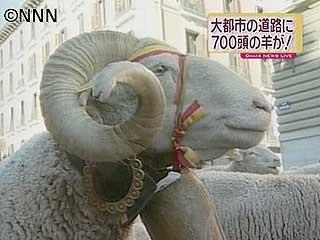 羊700頭の抗議パレード