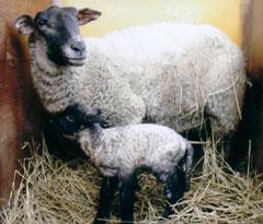 1月22日に生まれた今年最初の赤ちゃんヒツジ