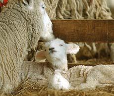かわいらしい表情で母羊に甘える子羊