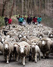 牧草地を目指し、林道を駆ける羊の群れ=雫石町・小岩井農場まきば園