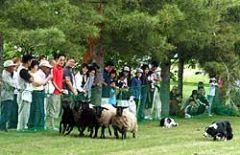 追われる羊たち