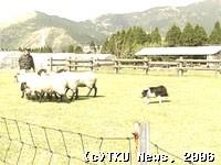 牧羊犬の訓練風景