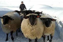 雪の中をゆったり散歩する羊たち