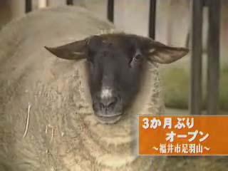 足羽山ミニ動物園のヒツジ