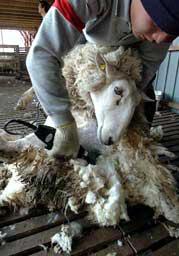 1年間で分厚く伸びた毛が手際よく刈り取られる