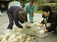 近所の人が見守る中、羊の毛刈りをする