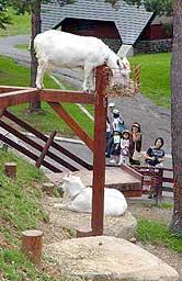 地上から約3メートルの高さの餌場で草をはむヤギ