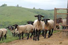 小屋から走り出す羊たち