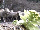 小岩井農場で羊の放牧