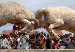 中国河北省で行われたヒツジの競技会
