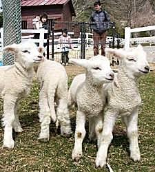 六甲山牧場でつぎつぎ生まれた羊の赤ちゃん