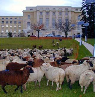 国連欧州本部の草刈り羊