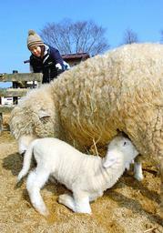 お母さんのおっぱいを飲む子羊
