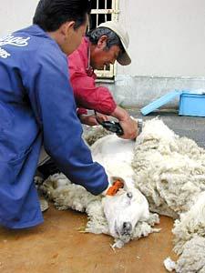 羊の毛刈り気持ちよさそう