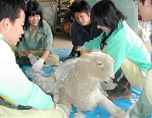 バリカンで羊の毛刈り