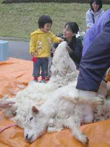 親子連れらの見守る中、綿羊も毛刈りでみるみる夏モードに