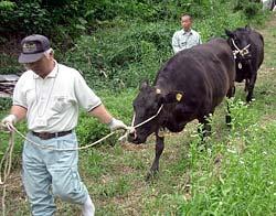 休耕田に放たれた2頭の牛