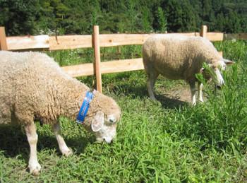 田の周辺の草を黙々と食べるヒツジ