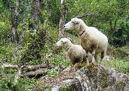 耕作放棄地で草を食べる羊