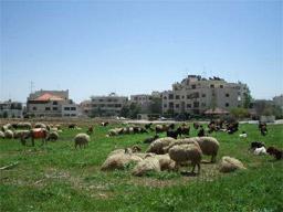 高級住宅街の羊