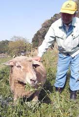 ヒツジの放牧実験