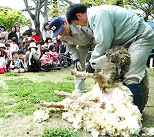 飼育員に毛を刈られるアオちゃん