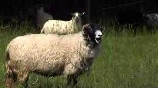 Baarmy Sheep