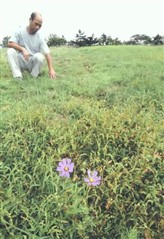 シカの食害の影響で小さなコスモスの花がまばらに咲く場内