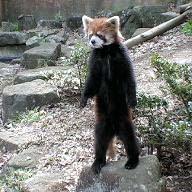 レッサーパンダの風太