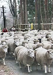 林道を走り抜ける羊の群れ