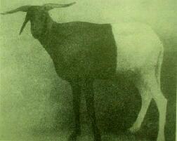 白黒羊 サヘル