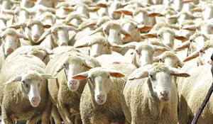 列車が羊の群れに