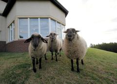 野良風の羊くんが3匹