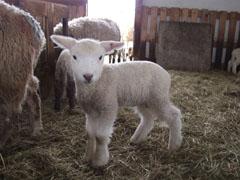 小岩井農場の子羊