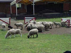 牧羊犬の賢さに驚嘆?