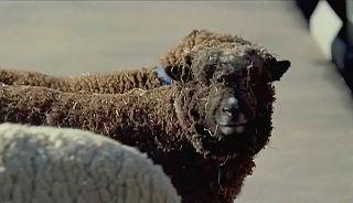 【TVCM】LEGACY「レガシィTW 羊」篇