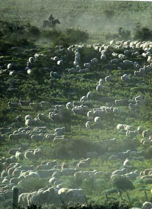 ヒツジの群れを追う南米のガウチョ