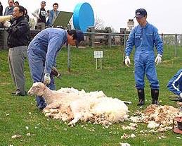 このまま衣を脱ぎ捨てそうな羊の肢体