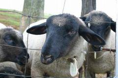 羊せんべい求む