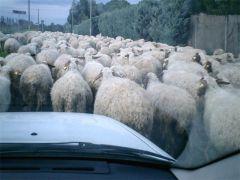 ペコラ/羊